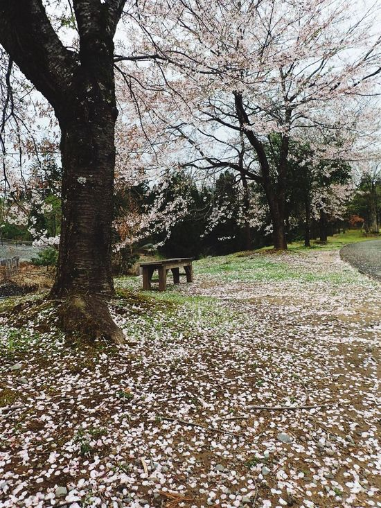 Katsuyama My Favorite Place Beauty In Nature Nature Japanese Spring Cherry Blossoms Cherry Tree