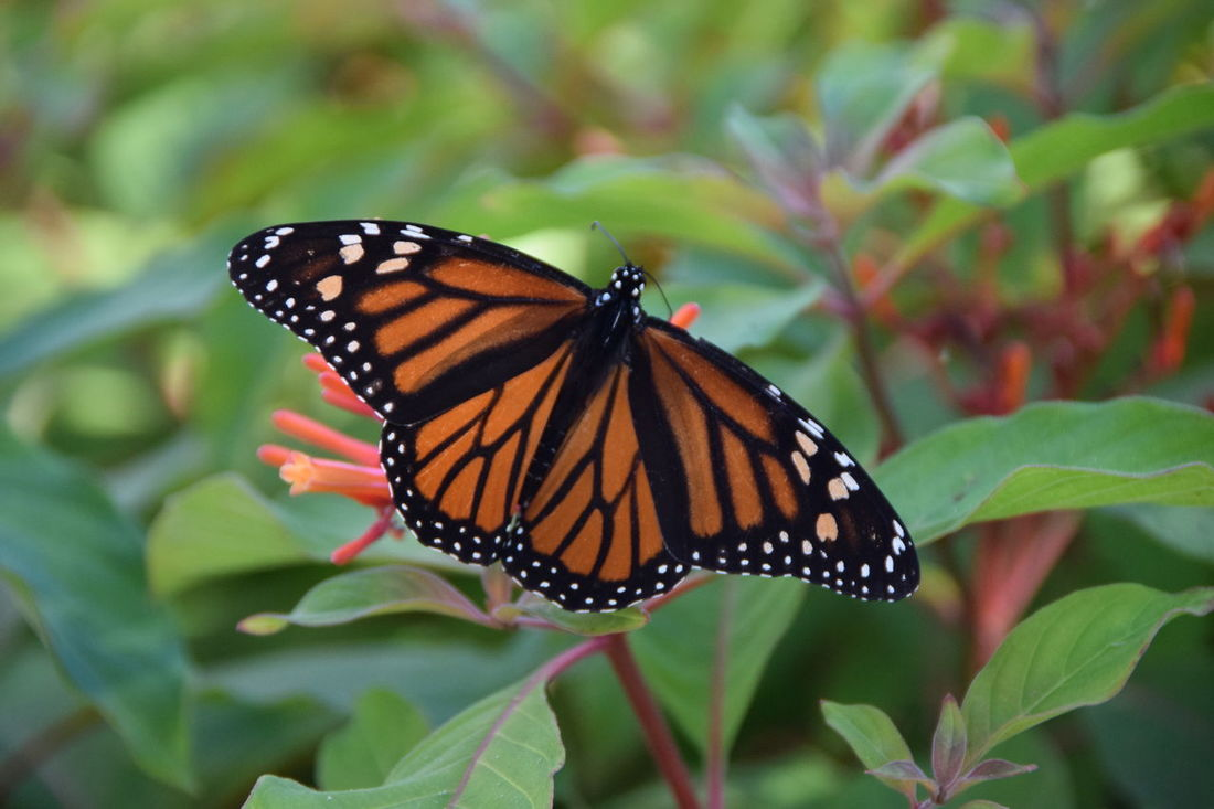 Monarch butterfly migrating for the winter. Monarch Butterfly Monarchbutterfly Monarch Butterfly Sacntuary Monarch Butterflies Monarch Butterfly On Flower. Monarch Butterfly On Flower Monarch Butterfly On Tree Monarchbuterfly