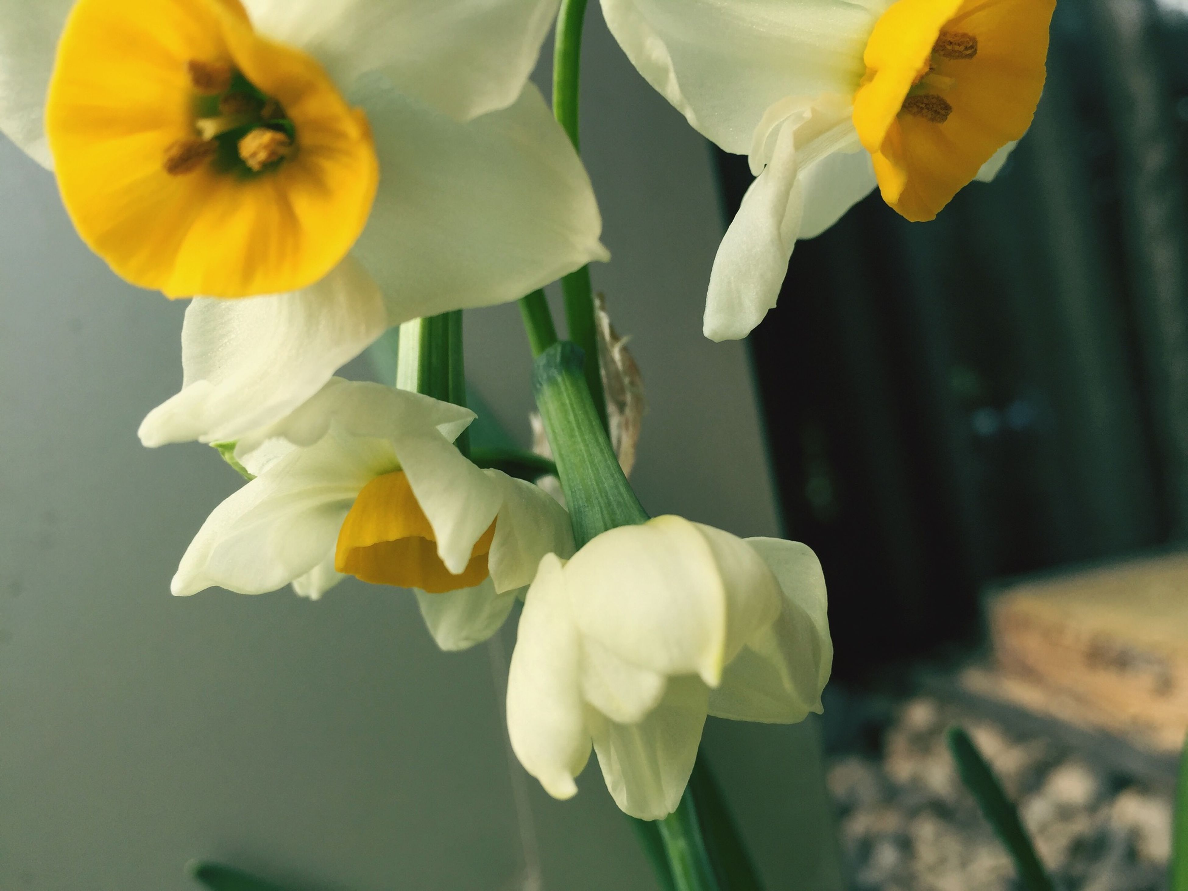 flower, petal, freshness, fragility, flower head, yellow, beauty in nature, growth, close-up, blooming, white color, focus on foreground, nature, plant, daffodil, stem, in bloom, pollen, blossom, no people