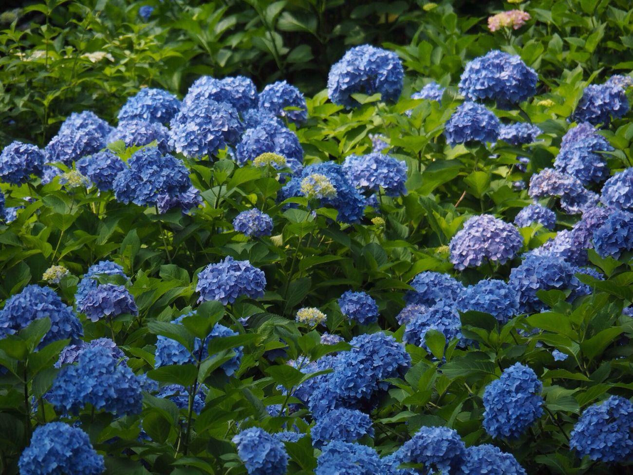 Kyoto Japan Uji Mimurotoji Temple Hydrangea Flowers Blue Growth Nature Plant Purple Beauty In Nature Day Outdoors No People Olympus PEN-F 京都 日本 宇治 三室戸寺 紫陽花