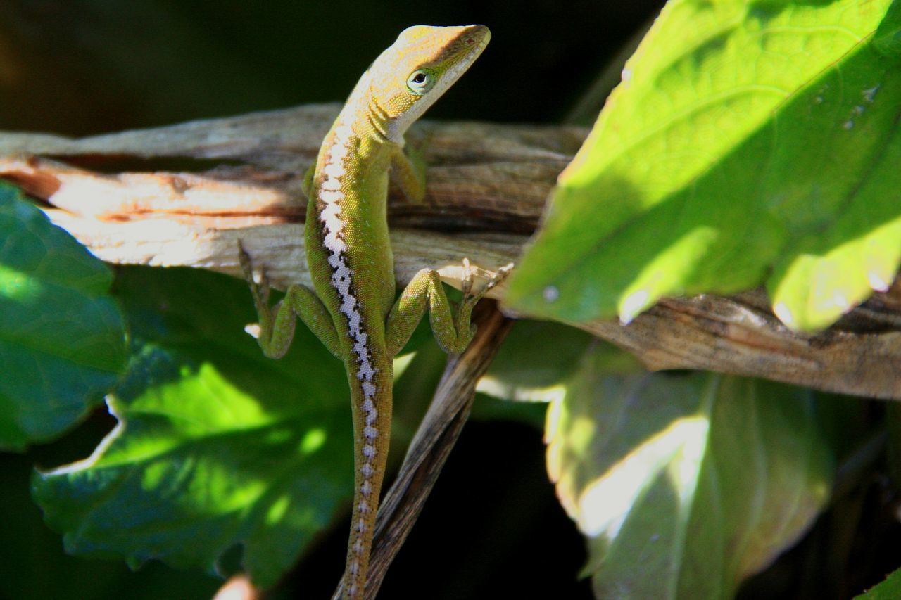 one animal, reptile, animal themes, animals in the wild, green color, leaf, no people, animal wildlife, nature, outdoors, day, close-up