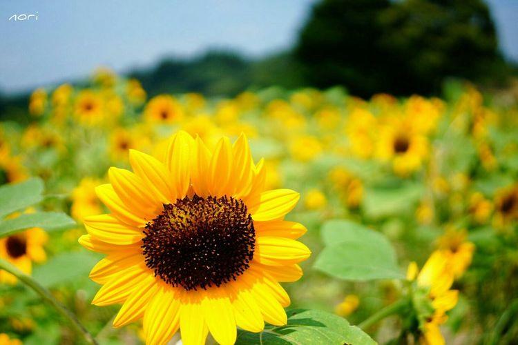 夏よ止めないで~ https://youtu.be/vbSncbC9cYU おやすみなさ~い🙋 Sunflower イエローハッピー おハッピーを 一緒に楽しみたい Flowers Flower Flower Collection ボケ味ふぇち Landscape Kagoshima