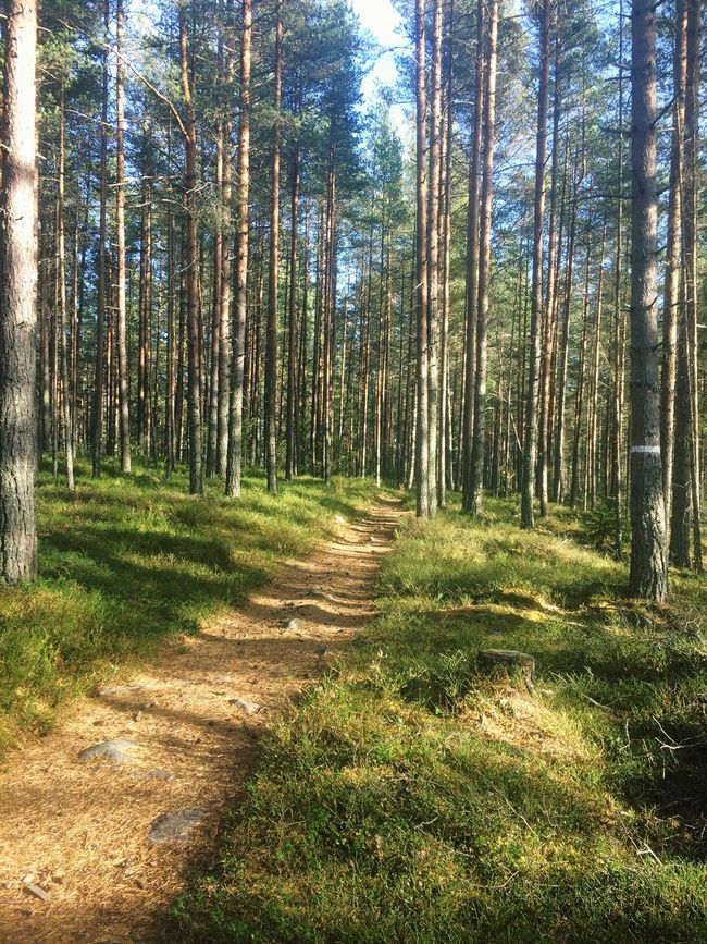 Testing it out. Tree Nature Forest Growth Tranquility Tranquil Scene Tree Trunk WoodLand Beauty In Nature Non-urban Scene Sunlight Outdoors Day Scenics No People Green Color Idyllic Grass Sky Woods Sweden Dalarna First Eyeem Photo