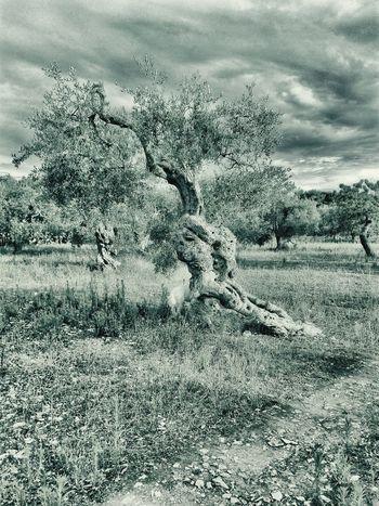 Olive Tree Apulien Puglia Kingdom Of Two Sicilies Myland