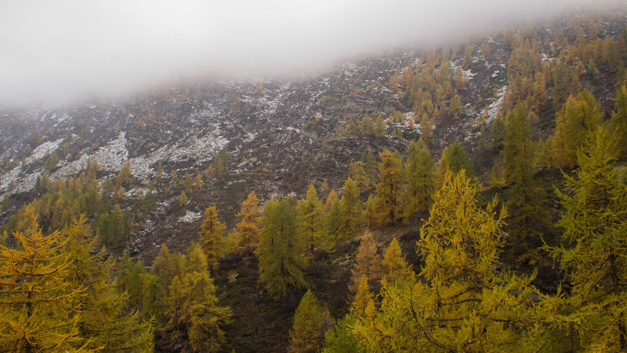 Autumn Beauty In Nature Cloud - Sky Day Fall Fog Foggy Day Forest Green Growth Landscape Mountain Nature No People Outdoors Pine Woodland Snow Tree Yellow