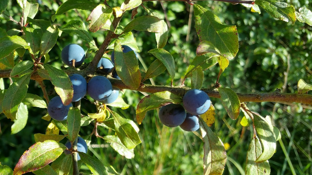 Sloes Berries Sunshine Nature