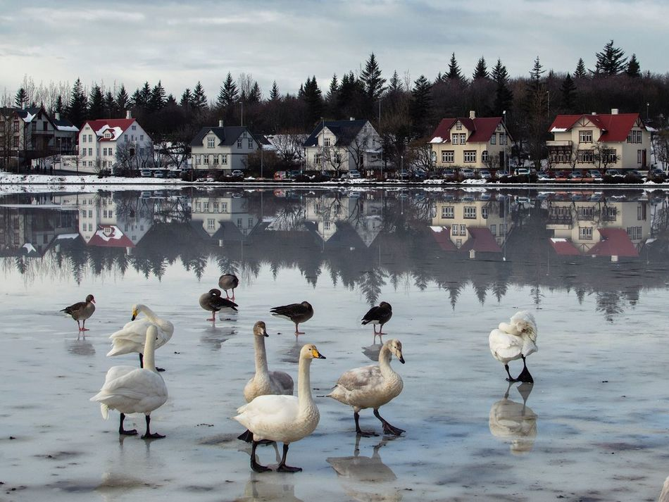 Iceland Reykjavik Tjörnin Lake Swans Water Reflection Animals In The Wild Bird Nature Tree Large Group Of Animals Travel Destinations Sky No People Cloud - Sky Outdoors Building Exterior Day Beauty In Nature Architecture Swan