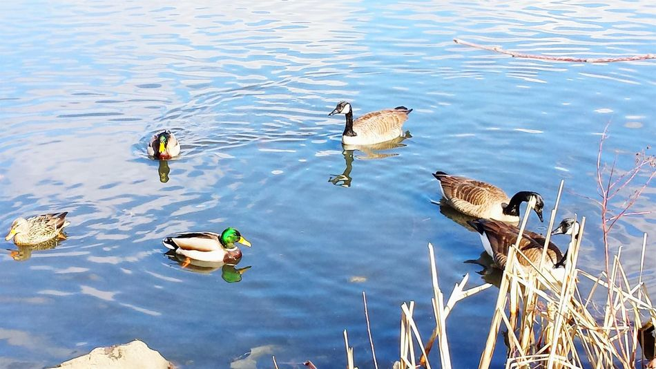 The Waterfowl are my only Friends... Propinquity Wildlife Photography EyeEm Nature Lover Reflection_collection Water Reflections Bird Photography Geese Ducks Mallards Hugging A Tree Wildlife & Nature Urban Nature Creation Share Your Adventure Earth This Week On Eyeem Rippled Reflection City Park Spring 2016 Magestic Glorytogod Quiet Moments Visualsoflife