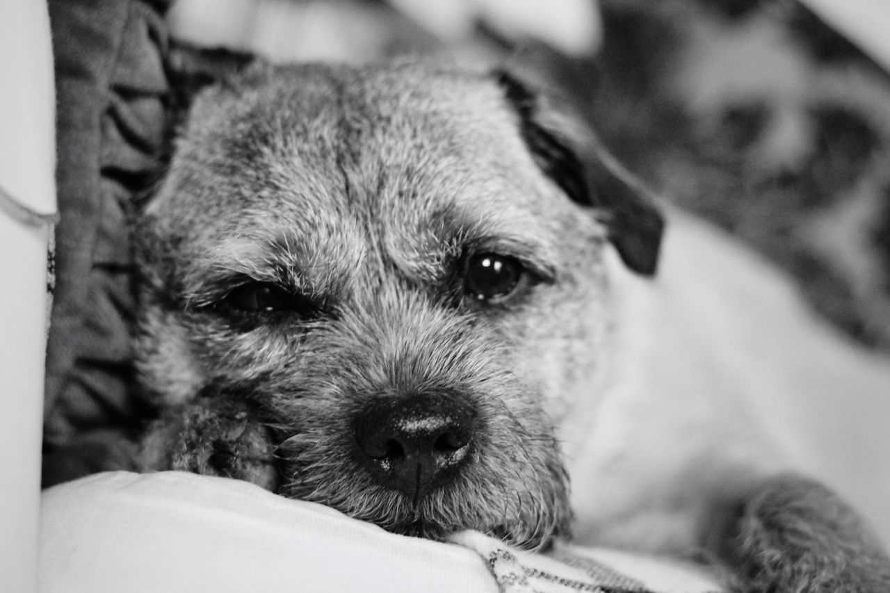 Pets One Animal Domestic Animals Dog Animal Themes Mammal Indoors  Close-up One Person Day Terrier Boarder Boarderterrier Leeds, UK Silhouette Dogs Canon Blackandwhite Pet Photography  Dogs Of EyeEm Dog Photography Dog❤ Dog Love