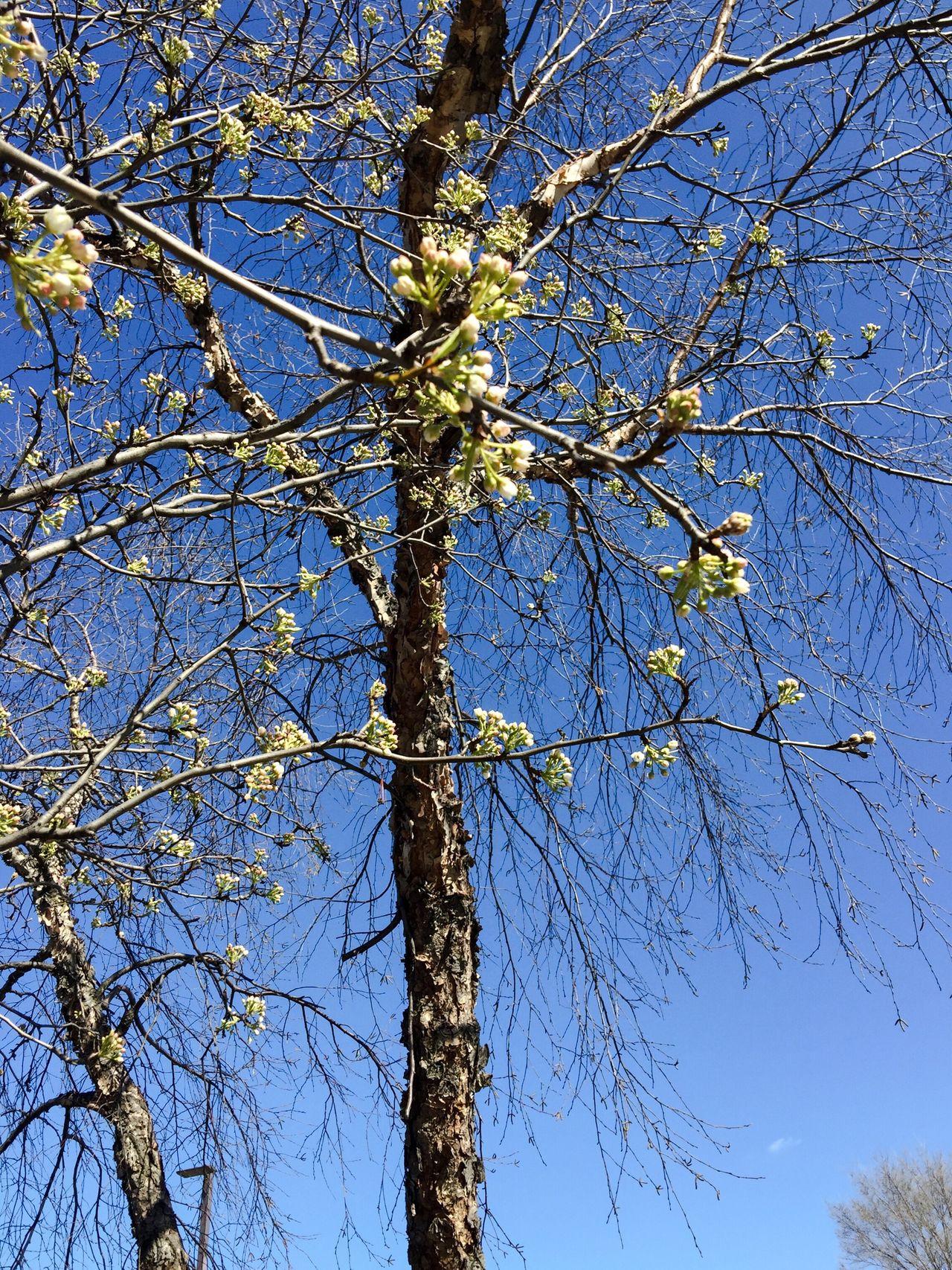 Budding Tree Blue Sky Nature_collection Nature Oswego, IL