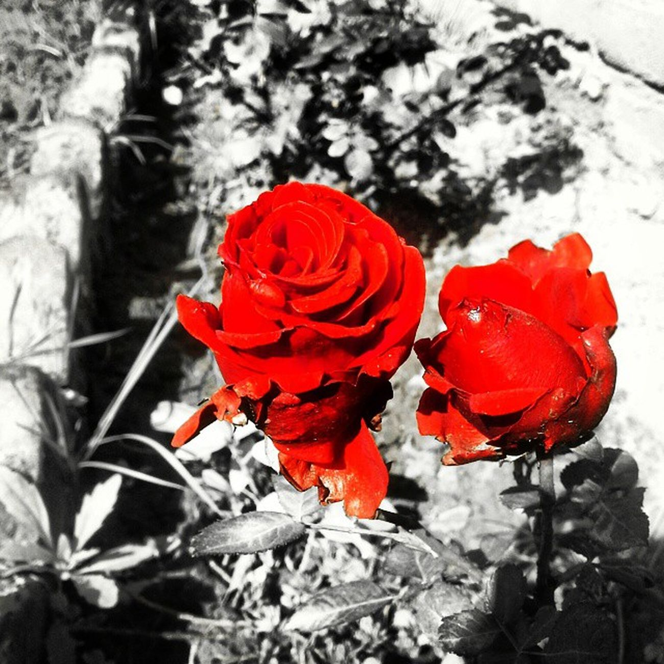 RaviMrons_Photography Rose_Day