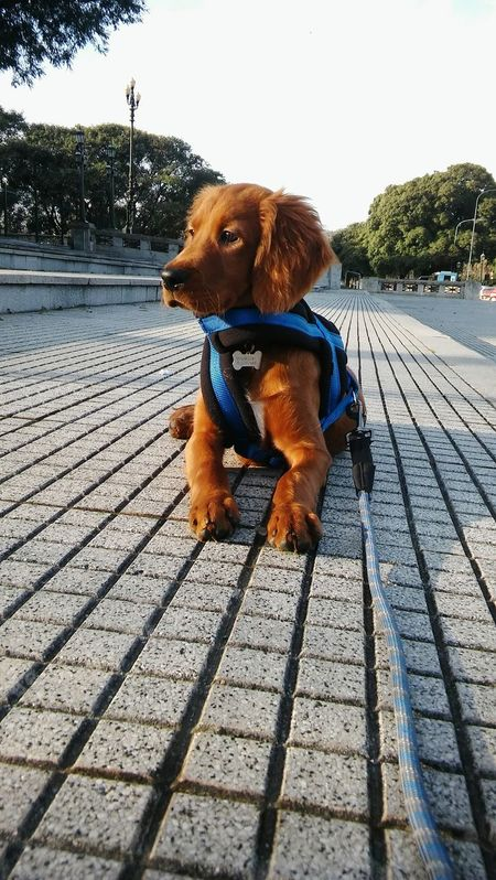 Dog One Animal Pets Day Outdoors Puppy Love Puppy Happiness Irishsetter Irishsettersofinstagram Irishsetterpuppy Setter DASTAN Setter Irlandes Irish Setter Friendship Love Family Lifestyles Puerto Madero, Argentina Buenos Aires, Argentina  Portrait Domestic Animals