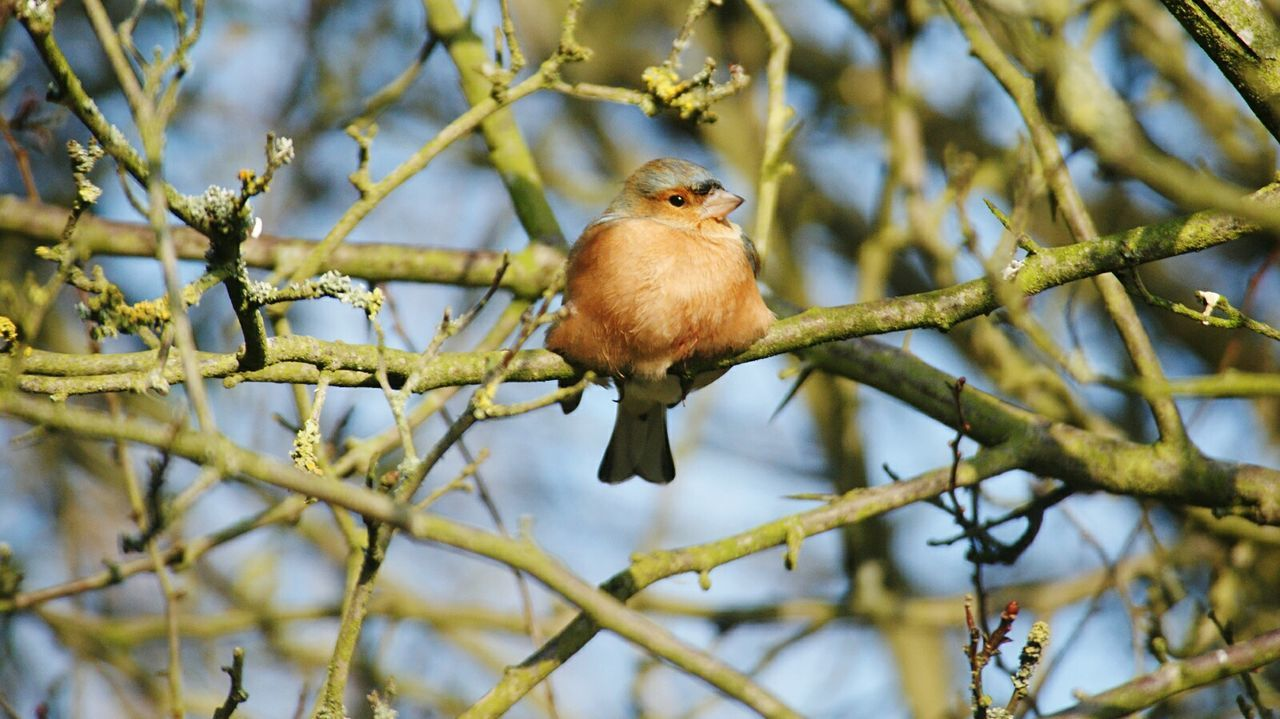 Chaffinch Bird Perching Branch One Animal Beauty In Nature Animal Wildlife Nature Outdoors Animal Themes No People Day Young Bird Perched Bird Perched On Branch