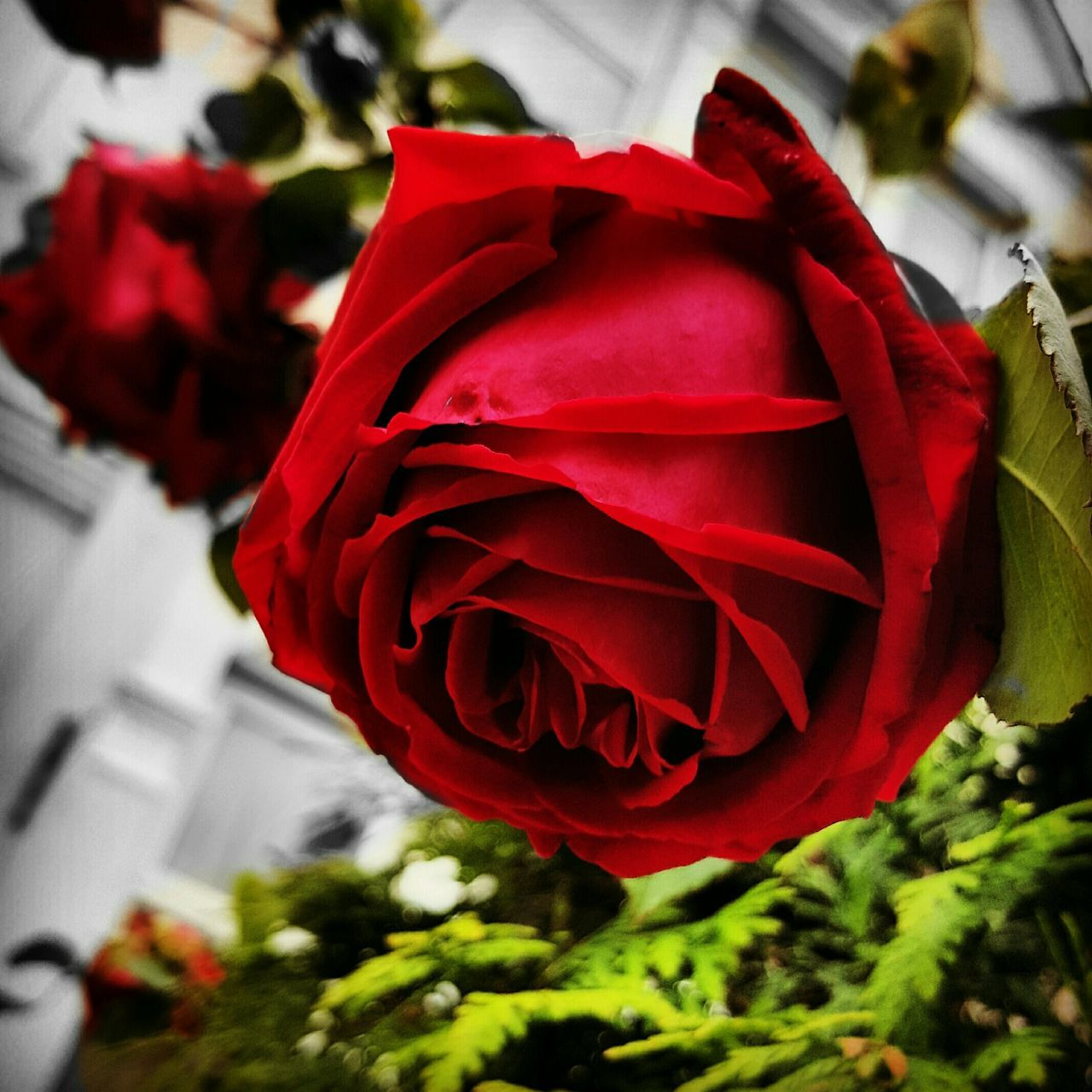 Red Rosé Favoriteflower EyeEm Flower 😚