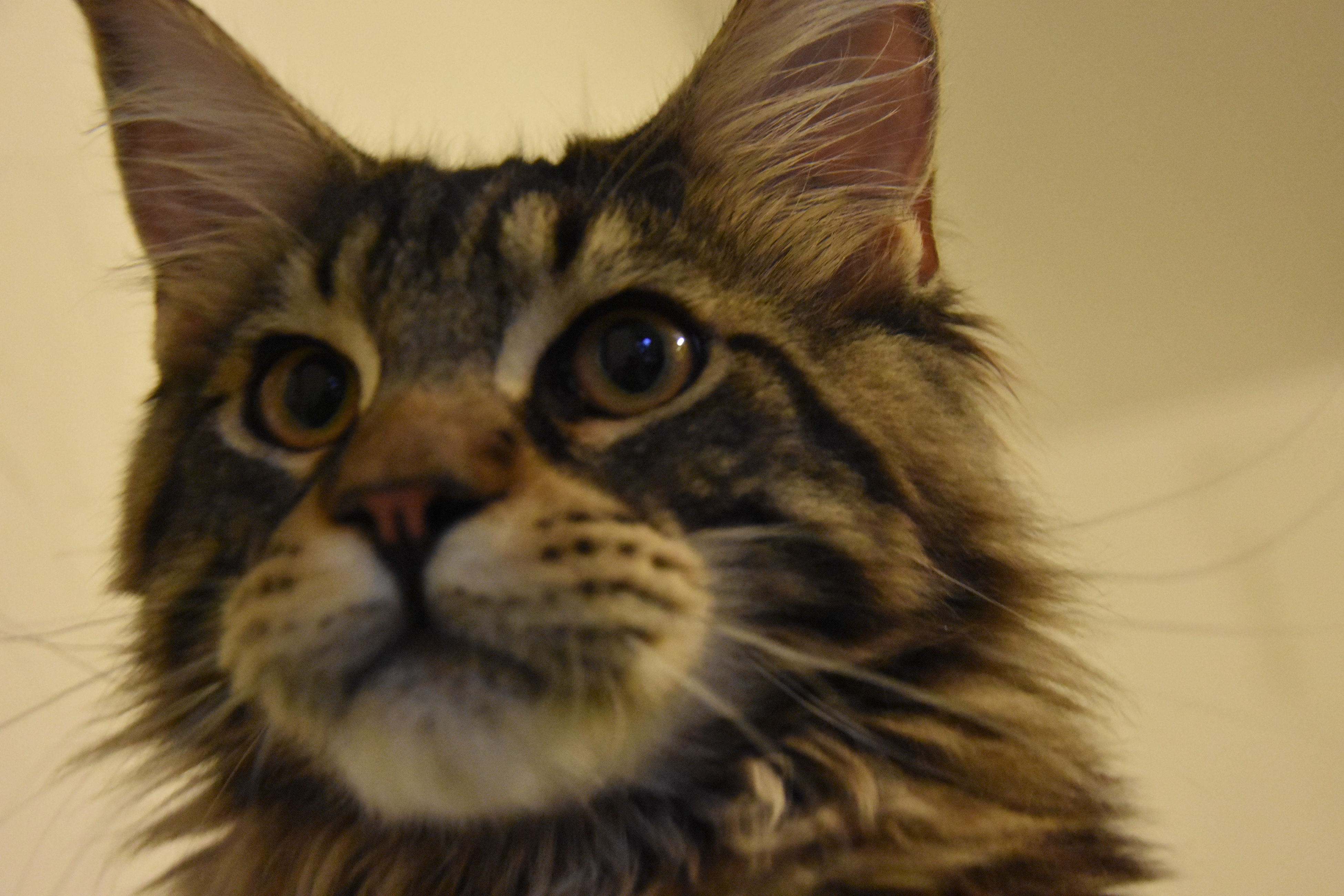 one animal, animal themes, domestic animals, domestic cat, pets, mammal, feline, whisker, no people, looking at camera, close-up, indoors, portrait, day