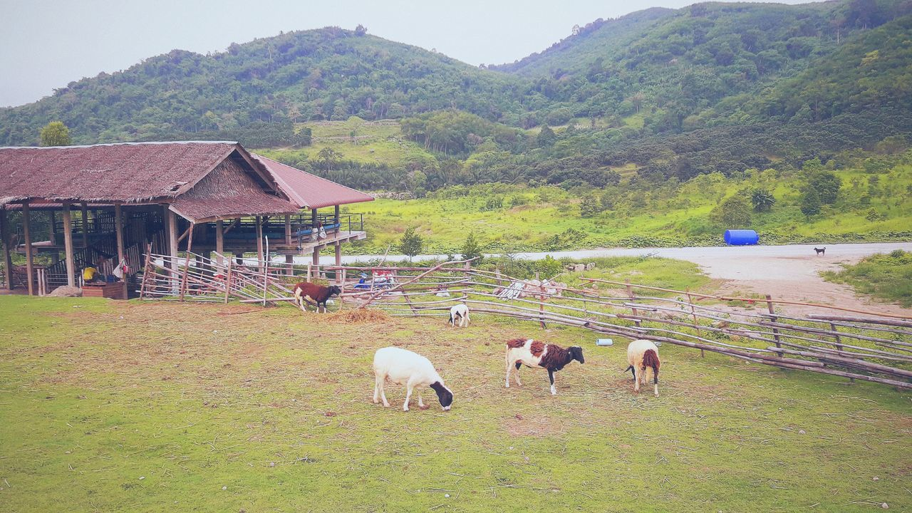 Domestic Animals Agriculture Animal Themes Outdoors Farmer Sheep Pets Grass Captured Moment No People