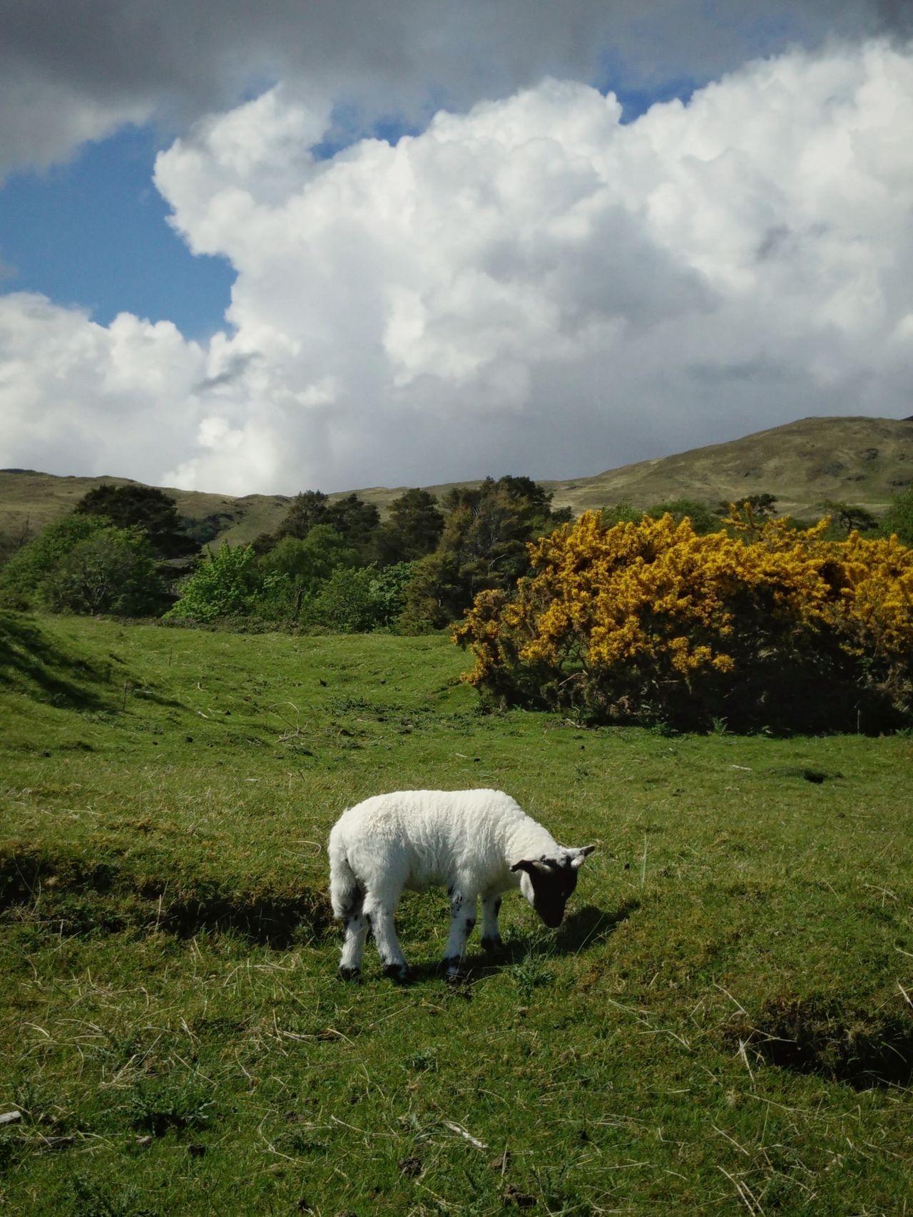 Animal Themes Beauty In Nature Domestic Animals Grass Grazing Landscape Nature Scotland Scottish Highlands Sheep Traveling