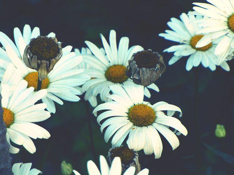Flower Beauty In Nature Fragility Flower Head Pollen Lifeanddeath Nostalgic  Melancoly Memories EyeEm Gallery Eyeemphotography Magnumphotos Eyeem Market Beautifully Organized Explore Tranquility Green Color Beauty In Nature Exploring Style Burnoutart Composition
