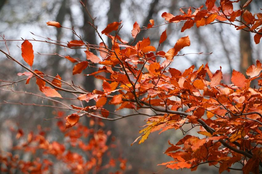 EyeEm Selects Autumn Leaf Change Nature Beauty In Nature Tree Orange Color Outdoors Red No People Branch Plant Day Maple Tree Scenics Tranquility Forest Landscape Multi Colored