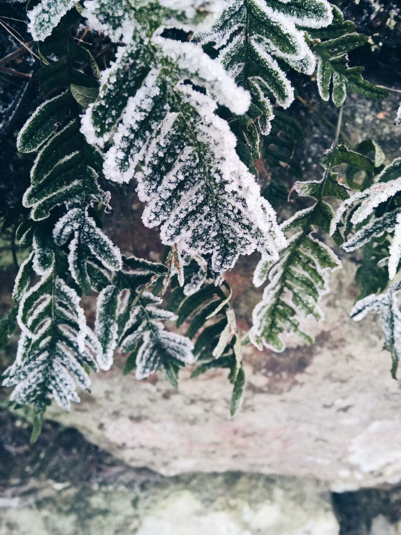 Abundance Botany Change Close Up Close-up Cold Cold Days Day Fern Focus On Foreground Fragility Frost Frosty Geology Geometry Green Growing Growth Leaf Nature Physical Geography Landscapes With WhiteWall It's Cold Outside Winter Wintertime