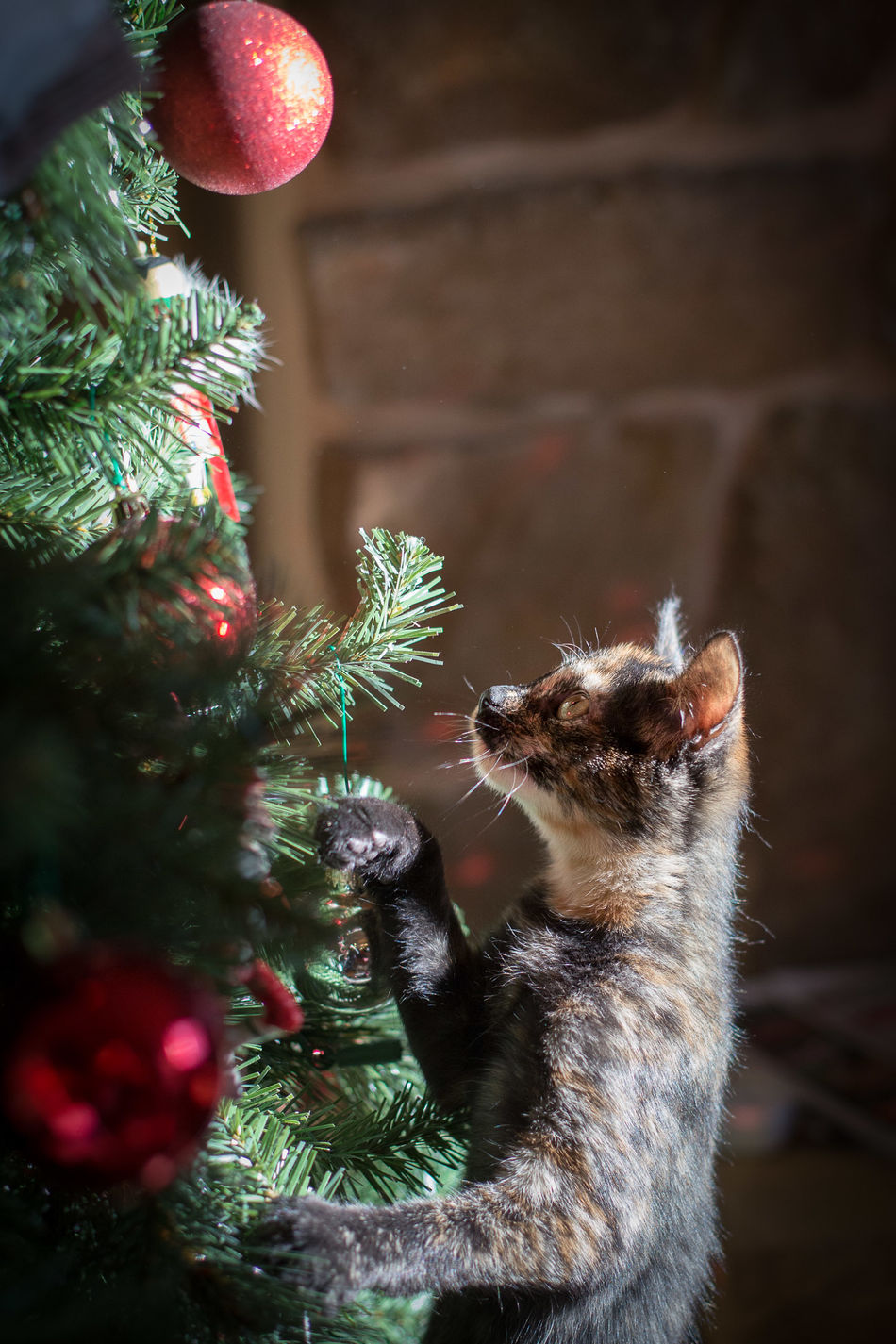 Merry Christmas! Christmas Tree Christmas Christmas Ornament Christmas Lights Kitty Kitten Cat