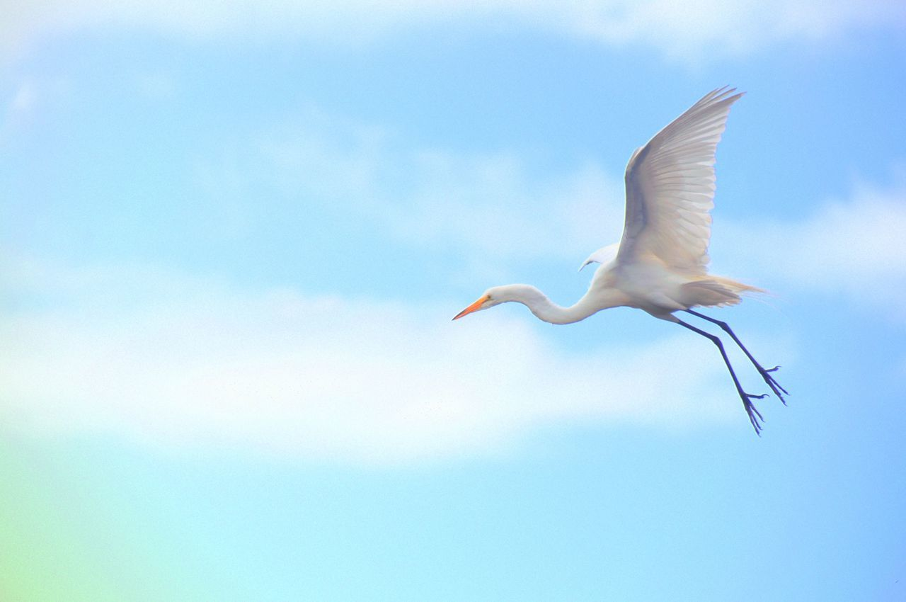Flying bird on an open sky. Beauty In Nature Bird Blue Flying Freedom Low Angle View Mid-air Nature Sky Spread Wings