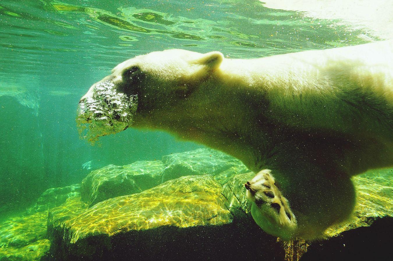 Icebear Swimmimg Bubbles Schönbrunn Zoo