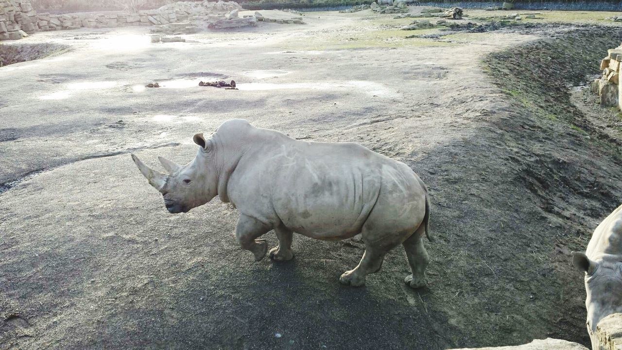 High Angle View Of Rhinoceros Standing On Rock At Dublin Zoo