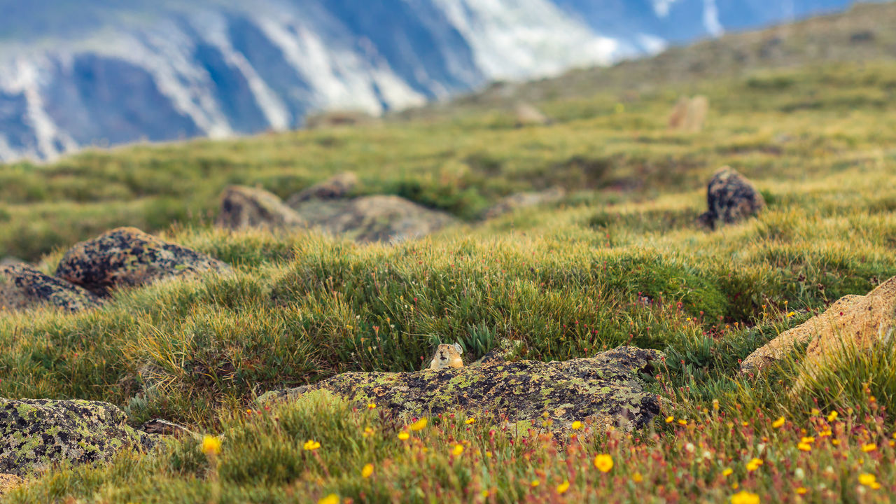 August Beauty In Nature Colorado Day Focus On Foreground Grass Hiking Trail Landscape Mammal Mountain Nature No People Non-urban Scene Outdoors Pika Rocky Mountain National Park Rocky Mountains Selective Focus Tundra Communities Trail Nature's Diversities
