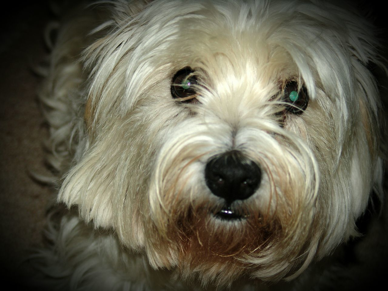 dog, pets, one animal, domestic animals, animal themes, animal hair, looking at camera, close-up, mammal, animal head, portrait, vignette, no people, indoors, black background, day