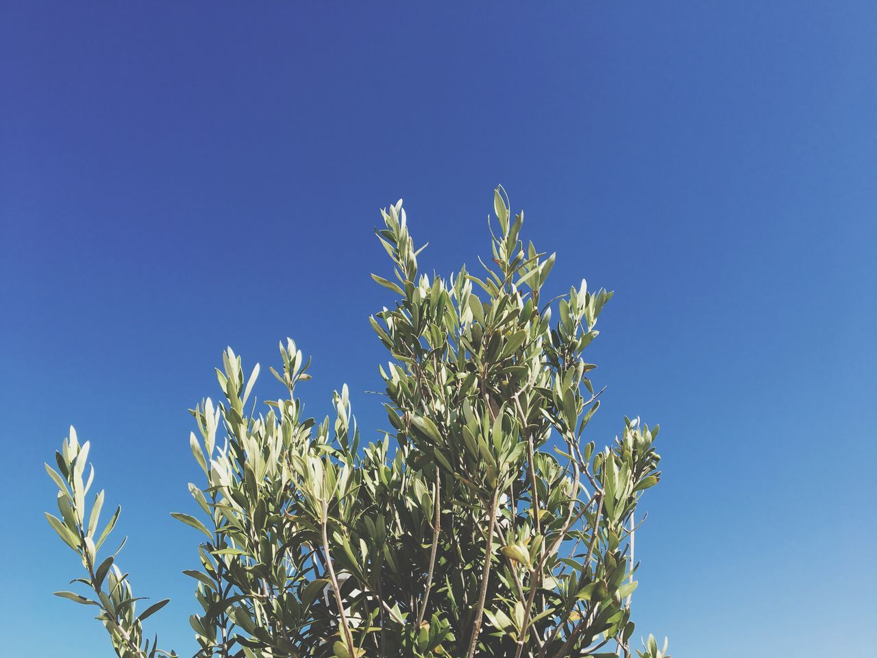 Growth Blue Clear Sky Nature Plant Low Angle View No People Day Beauty In Nature Outdoors Flower Leaf Freshness Tree Fragility Close-up Flower Head Sky Olive Olive Tree