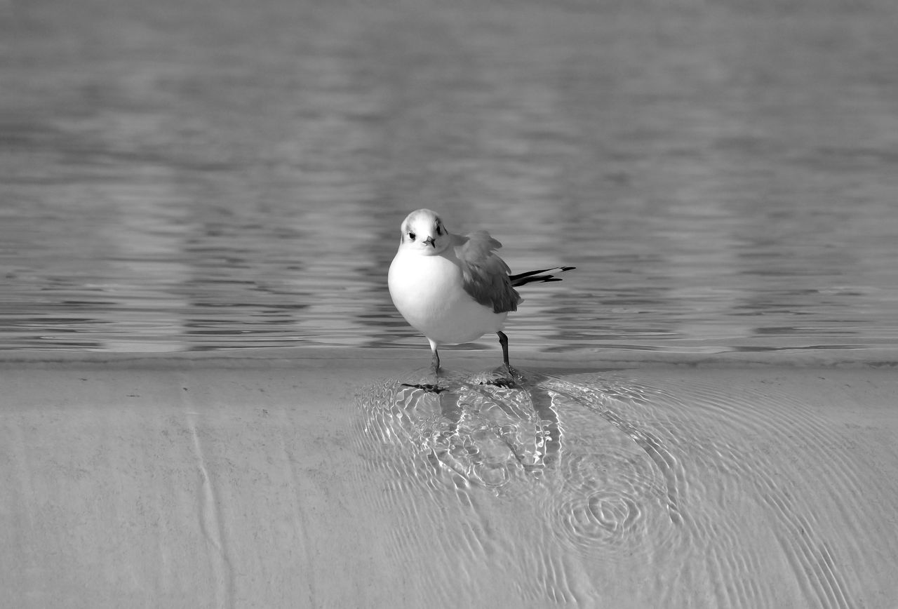 Shall we dance ? Animal Themes Animal Wildlife Animals In The Wild Bird Black & White Black And White Blackandwhite Blackandwhite Photography Cascade Eau Mouette Nature Outdoors Paris Seagull Trocadero Water Animals Animal Animal Photography