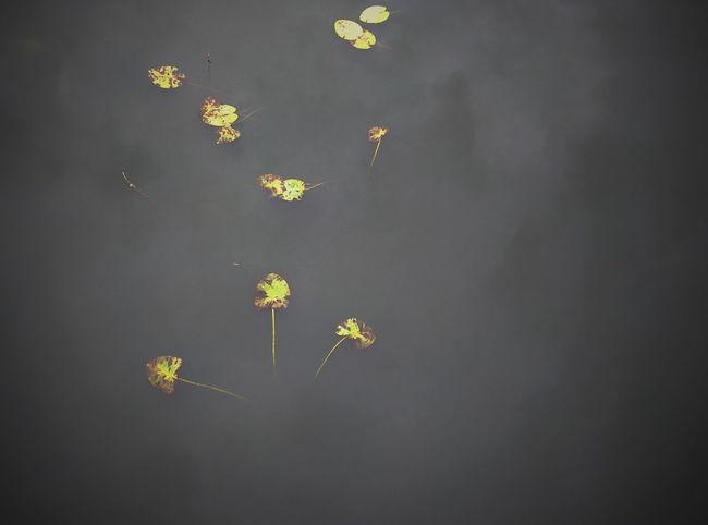 Lotus Leaves from the dark. Lotus Leaf Dark Water