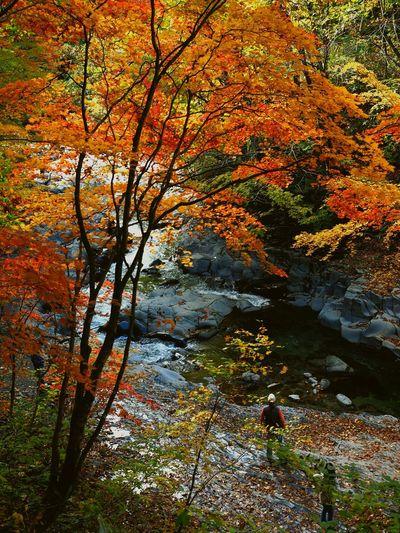 Nakatsugawa Valley Autumn Leaves Autumn Leaves Is A Great Leaf Peeping Autumn Bloom Great Japanese Landscape Urabandai District Fukusima,japan