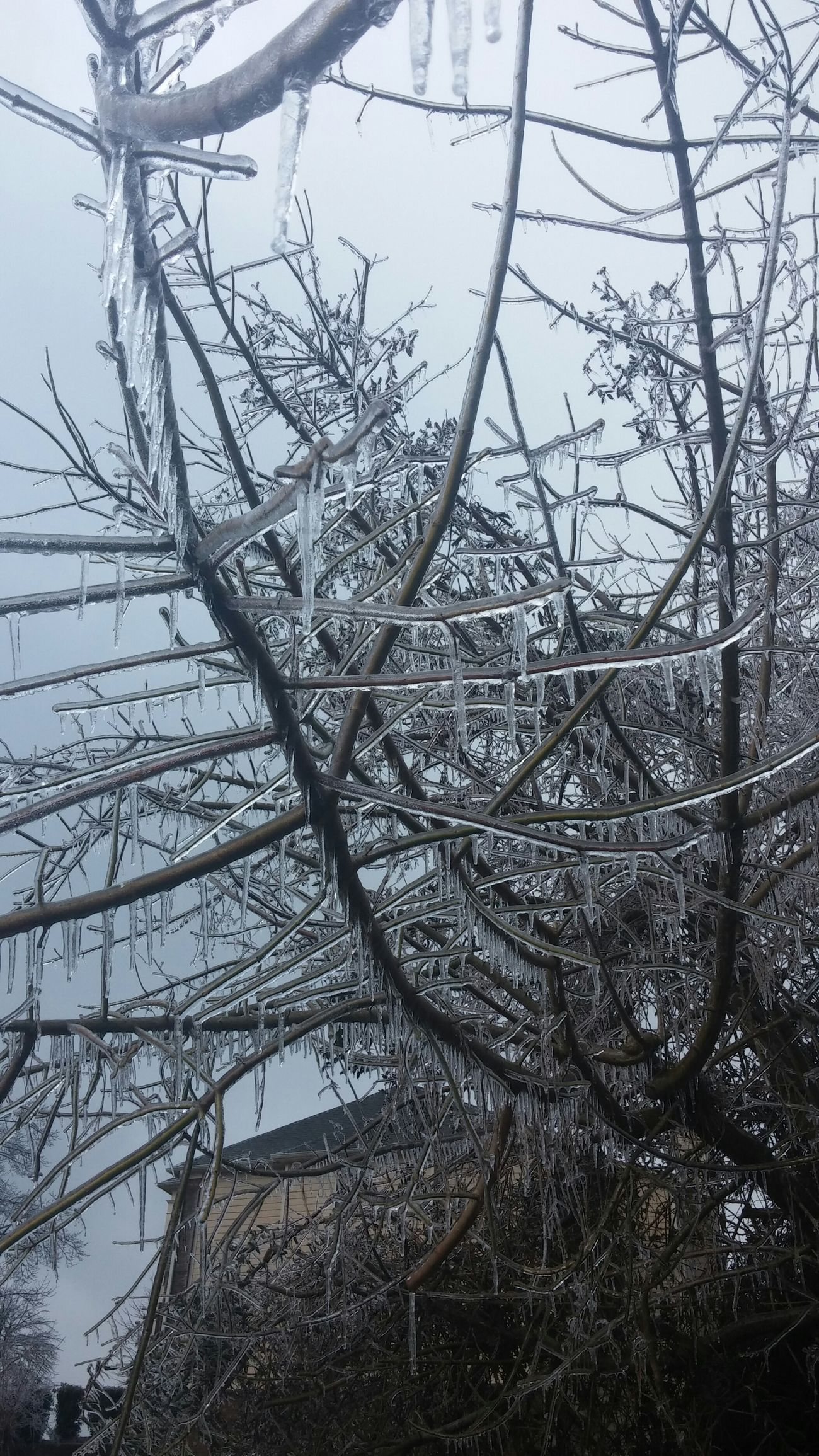Icy. Winter Icicles Branches Ice Icescape