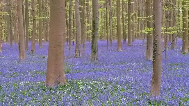 Hallerbos Belgium Woods Tree Blue Inspiring Beech Bluebells The Great Outdoors - 2016 EyeEm Awards The Great Outdoors With Adobe