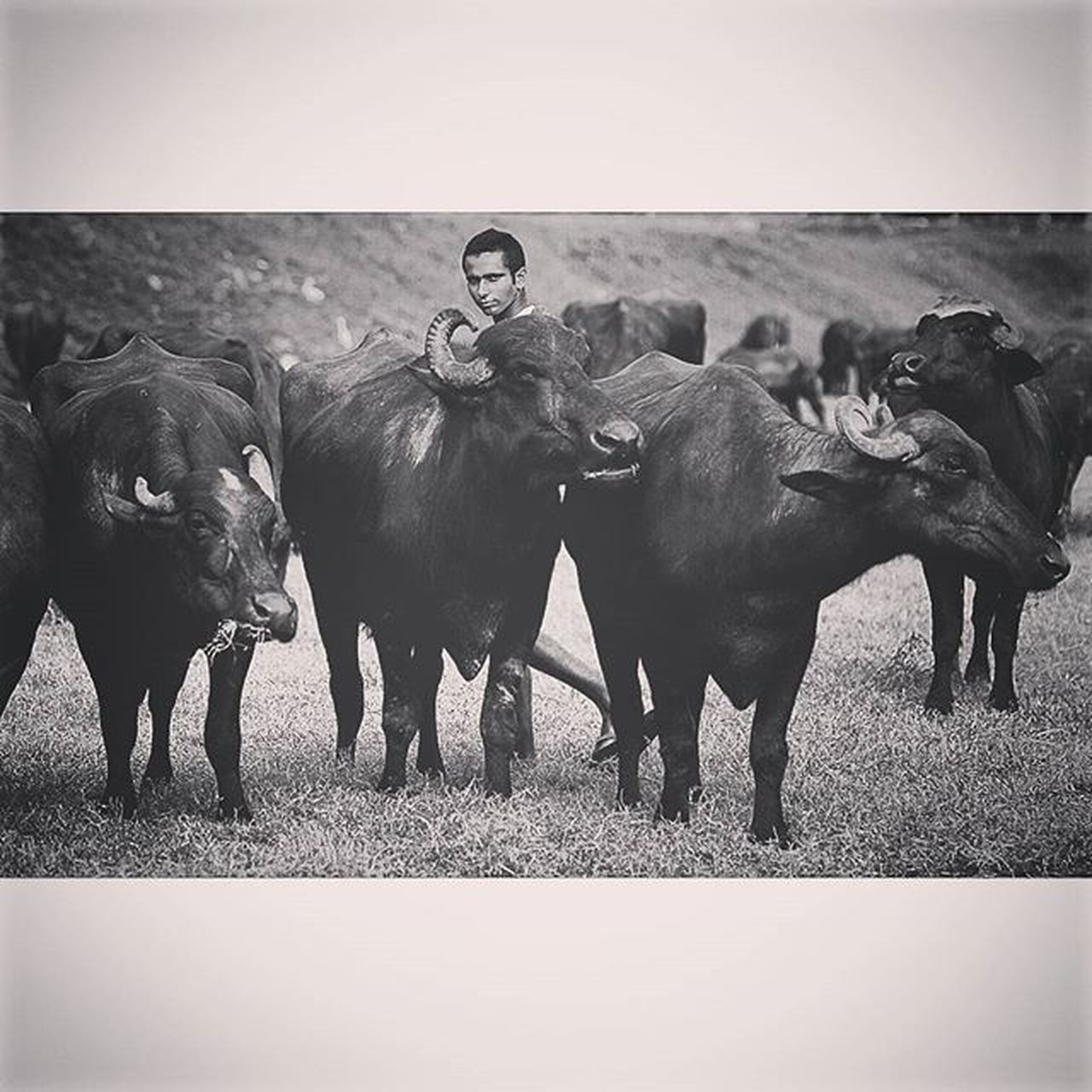 A man walked with his water buffalo Humaninterest Buffalo Buffaloboy Dailylife Lifeasphotographer Onassignment Reportagespotlight