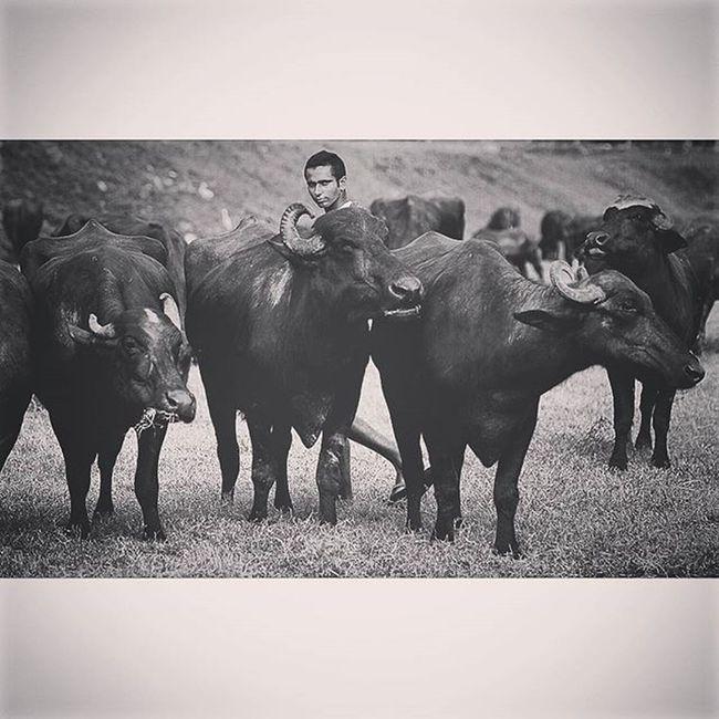 A man walked with his water buffalo Humaninterest Buffalo Buffaloboy Dailylife Lifeasphotographer Onassignment Reportagespotlight