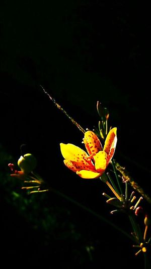 Flower 🌺 Nature Growth Beauty In Nature Freshness Plant Black Background No People Leaf Close-up Flower Flower Head Outdoors Night Fragility