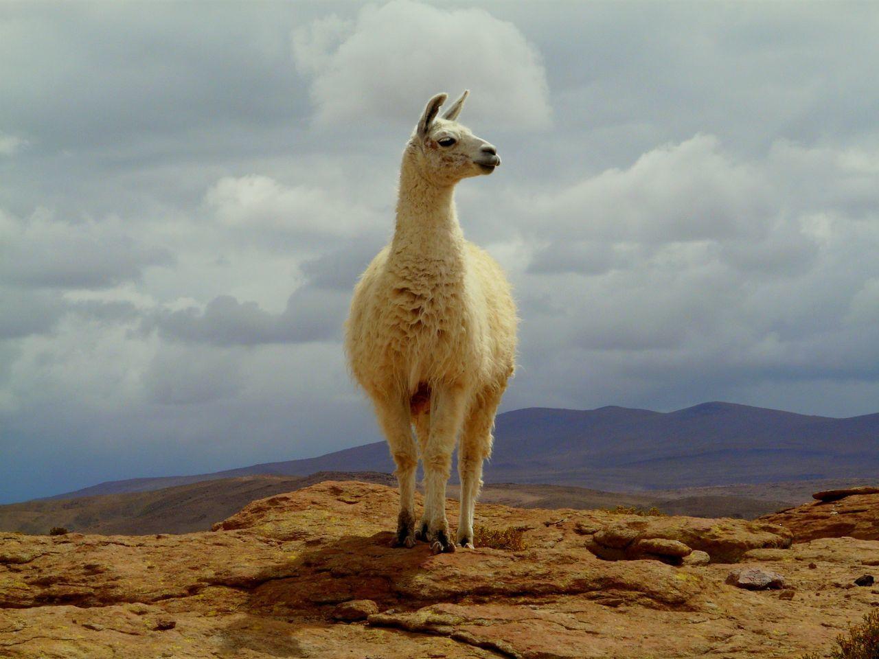 Beautiful stock photos of llama, Animal, Animal Hair, Animal Themes, Animals In The Wild