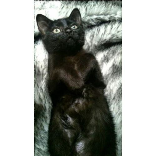 My baby Isis Excellentcats Beautykittens Cats Catoftheday Ilovecats Catslover Catoftheday Catofinstagram Cat Gato Bestcats_oftheworld Bestmeow Meow_beauties Meowbox Kittensofinstagram Kitty Kitten All_shots Like4like Photooftheday Picoftheday Excellen_kittens