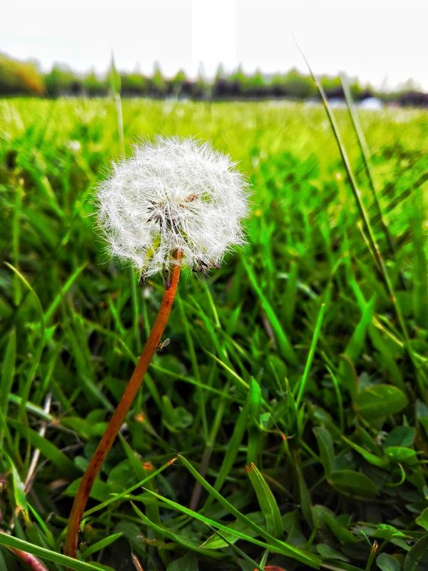 Dandelion Nature Grass Plant Fragility Green Color Beauty In Nature Tranquility