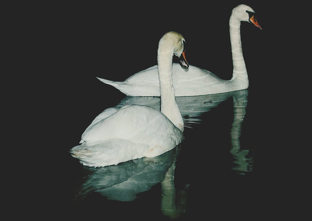 one animal, animal themes, bird, animals in the wild, white color, swan, animal wildlife, beak, no people, nature, black background, water, swimming, day, outdoors