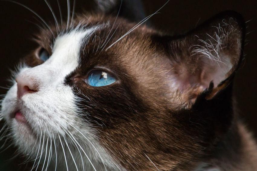 Gato Jazz Animal Eye Animal Head  Animal Nose Animal Themes Azul Blue Brown Cat Close-up Day Domestic Animals Domestic Cat Eyes Feline Gato Indoors  Mammal Marrom No People Olhos One Animal Pelos Pets