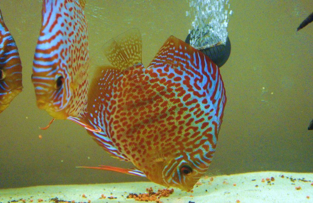 #amazon #bluediscus #discus #discusfish #fish #aquarium #fishtank #TagsForLikes #fishporn #instafish #instagood #swim #swimming #water #coral #reef #reeftank #tropical #tropicalfish #aquaria #photooftheday #saltwater #freshwater #beautiful #ocean #watertank #leopard_discus Amazonriver Aquarium Aquarium Life Aquatic Life