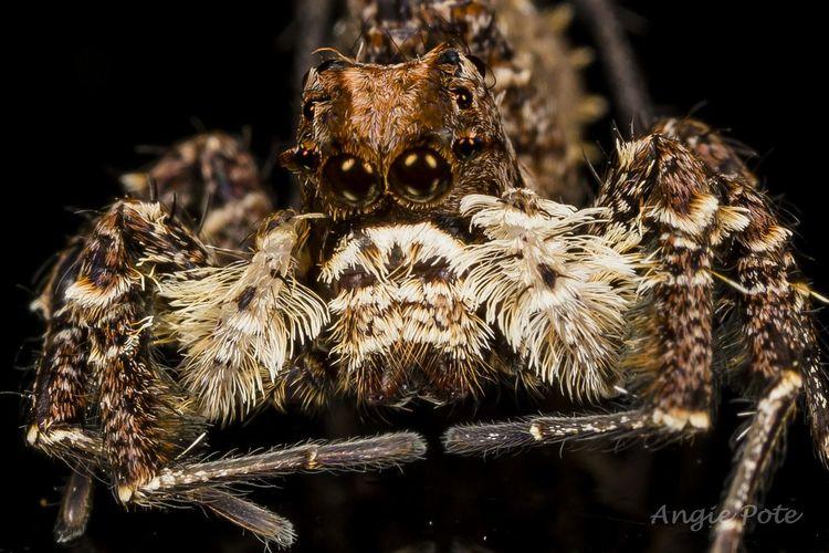 Portia Shultzi jumping spider Close-up Macro_bugs Macro Insects Macrophotography Macro Photography Macro_perfection Macro World First Eyeem Photo