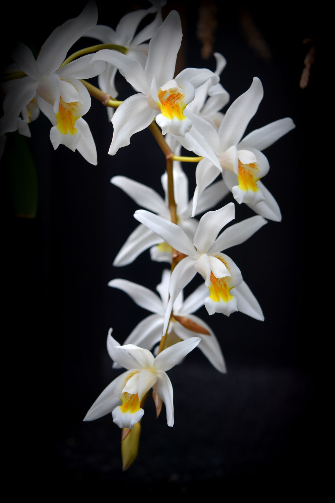 Beauty In Nature Black Background Close-up Flower Flower Head Fragility Freshness Growth Nature No People Orchid Orchid Blossoms Orchid Flower Orchids Orchids By Dvate Petal Plant White Color