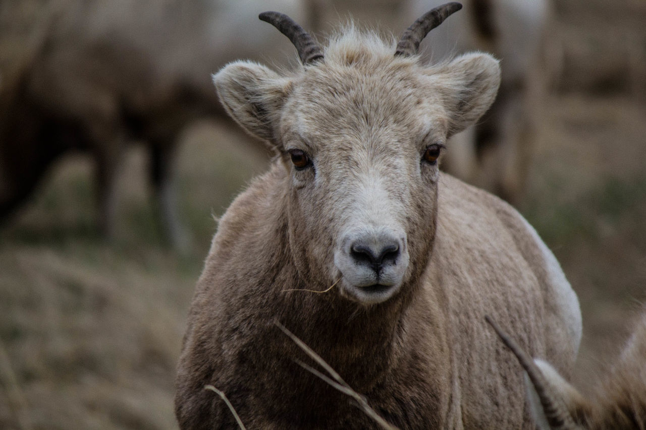 animal themes, mammal, focus on foreground, one animal, livestock, domestic animals, no people, day, animals in the wild, close-up, outdoors, animal wildlife, portrait, looking at camera, young animal, nature