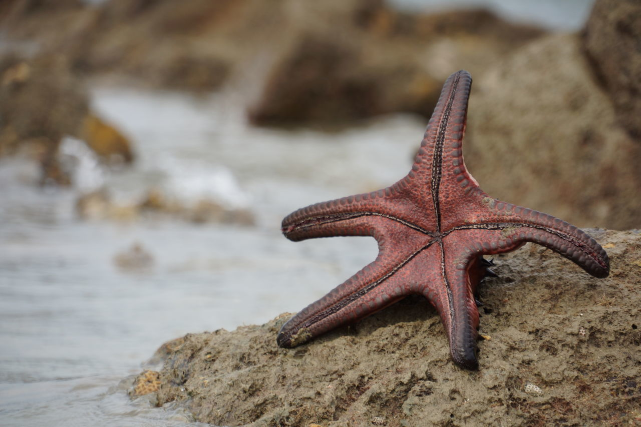 Beautiful stock photos of starfish, Animal Themes, Animals In The Wild, Close-Up, Day