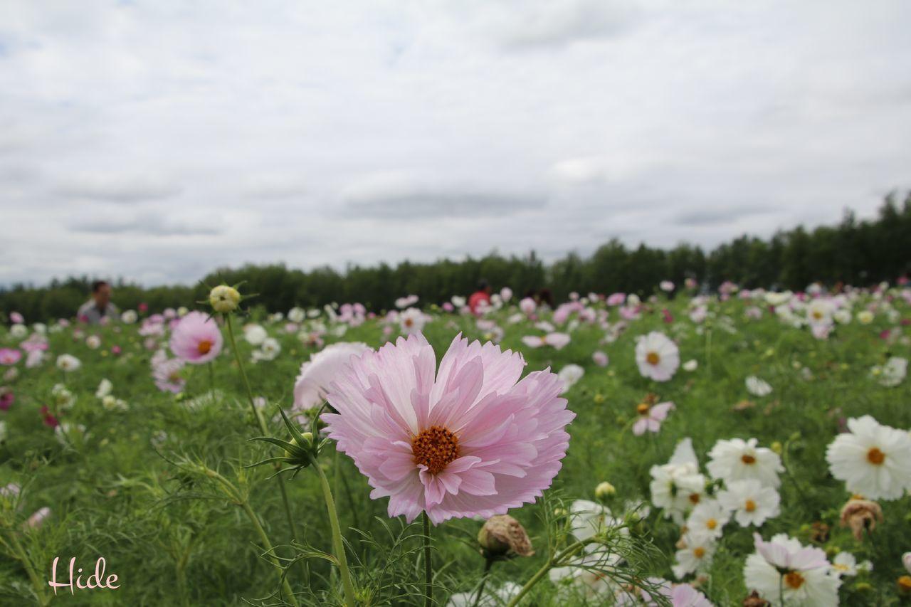 富良野 四季彩の丘 花 Flowers コスモス コスモス畑